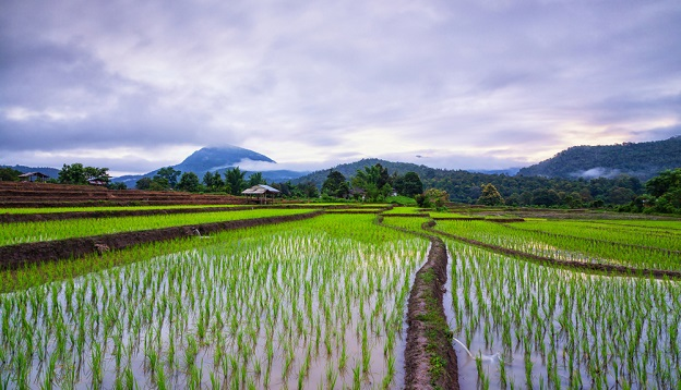 Rice terraces in Muang Kong, Thailand. Photo Credit: Shutterstock
